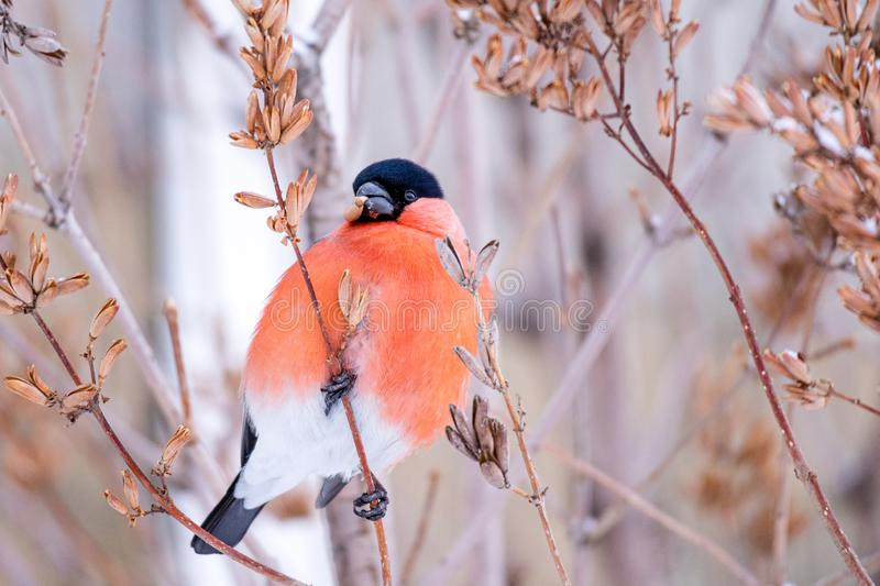 Winter bird bullfinch in beak of the Finch seeds plants. Red Breasts and bare tree branches in winter royalty free stock photography