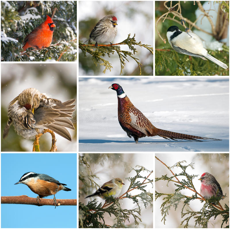 Winter birds collage. Nice collage featuring several species of Canada's winter birds royalty free stock photography