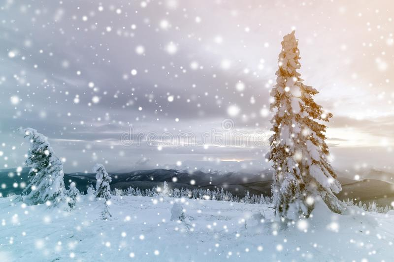 Winter blue landscape. Spruce tree in deep snow on mountain clearing on cold sunny day on copy space background of cloudy sky.  stock photo