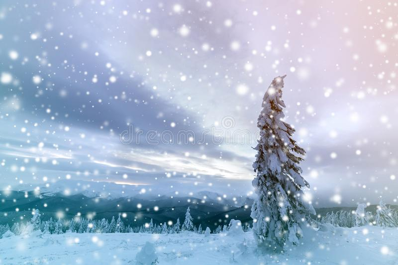 Winter blue landscape. Spruce tree in deep snow on mountain clearing on cold sunny day on copy space background of cloudy sky.  stock photos