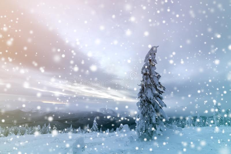 Winter blue landscape. Spruce tree in deep snow on mountain clearing on cold sunny day on copy space background of cloudy sky.  royalty free stock photo