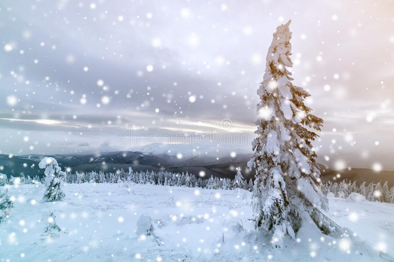 Winter blue landscape. Spruce tree in deep snow on mountain clearing on cold sunny day on copy space background of cloudy sky.  stock image