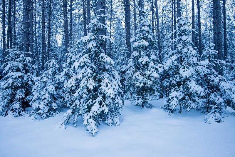 Winter blue snow covered forest stock images