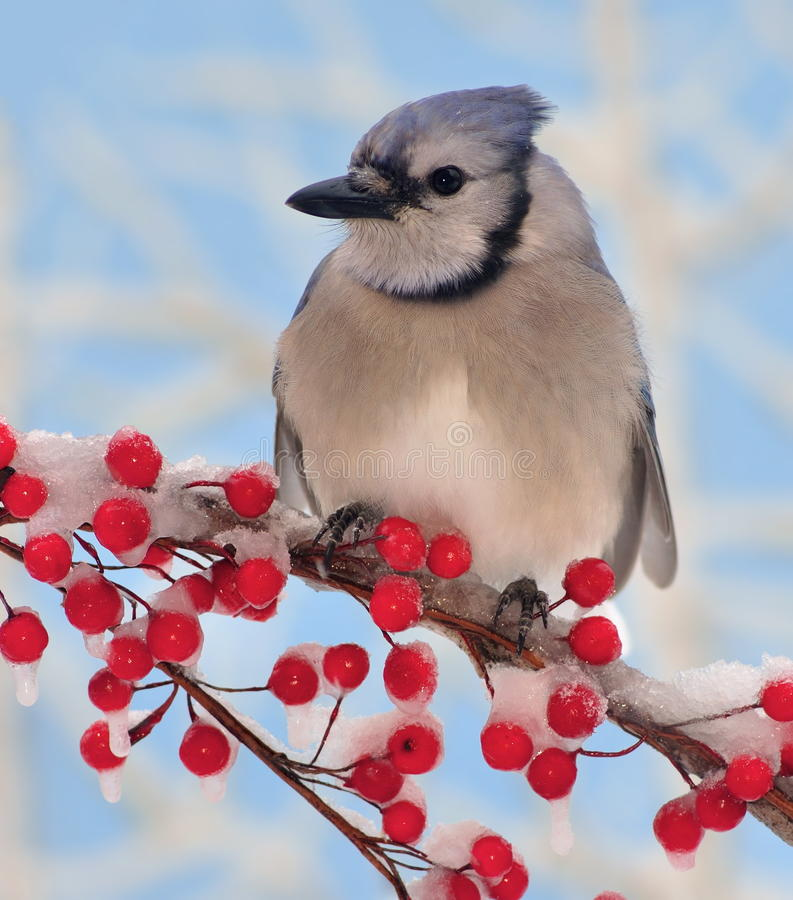 Winter Bluejay At Red Berries stock photos