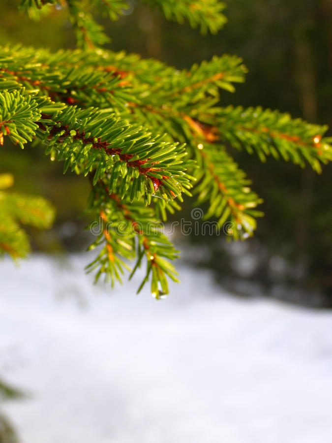 Winter Branch Of firtree. Winter branch of pine under a snow royalty free stock photo