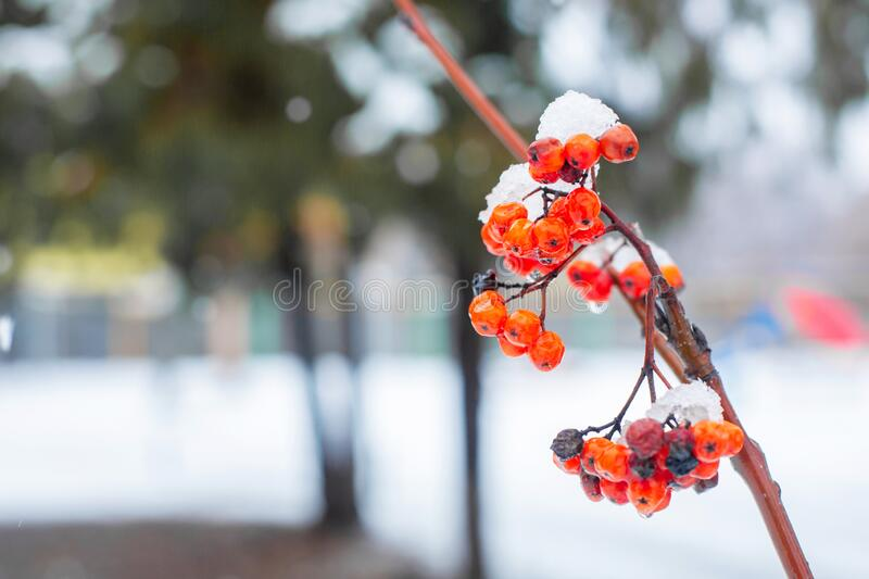 Winter branch with red rowan berries.  royalty free stock photo