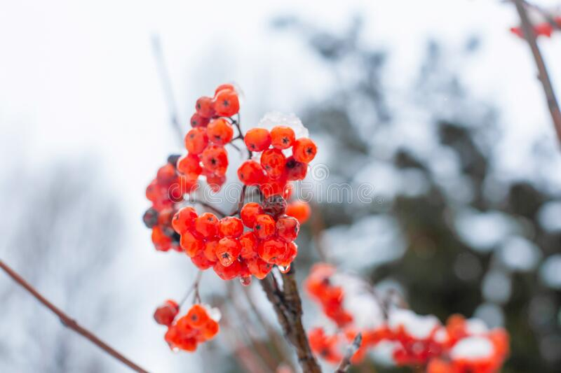 Winter branch with red rowan berries close up.  royalty free stock photos