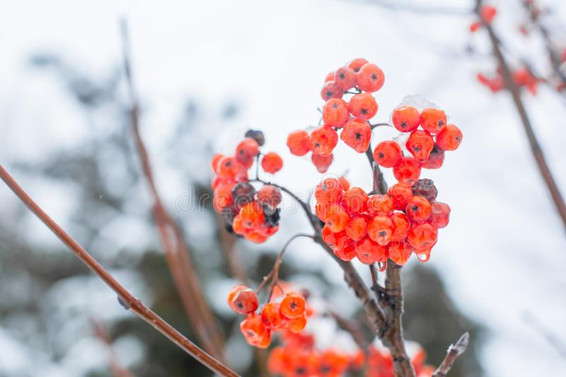 Winter branch with red rowan berries a. Winter branch with red rowan berries royalty free stock photography