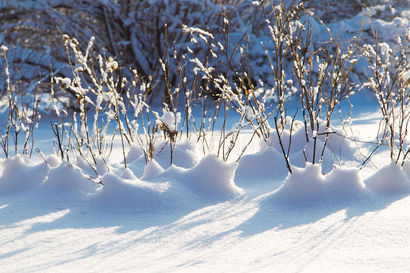 Winter branch with snow. Closeup royalty free stock image