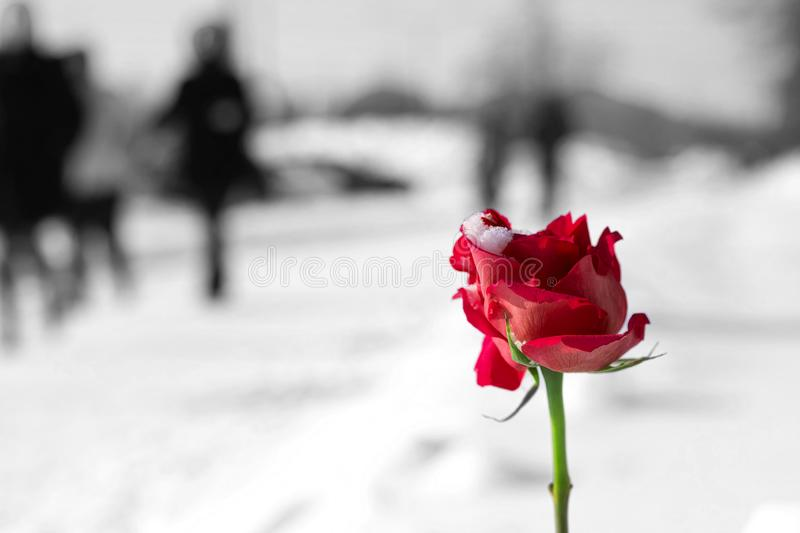 Winter bright red rose black and white background. Of the street royalty free stock images