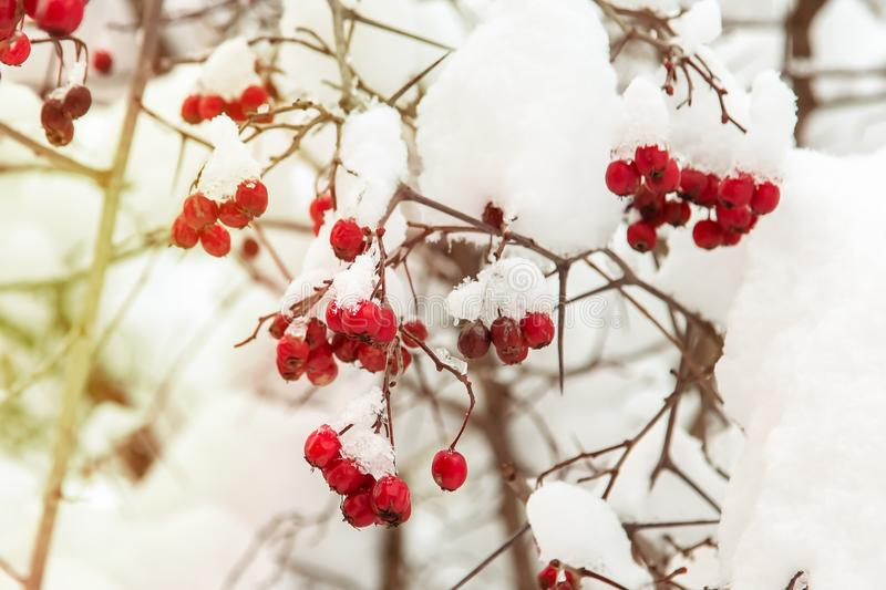 Winter. Brown tree branches. Frozen red rowan hangs on a tree. On red berries snow and ice.  royalty free stock photo