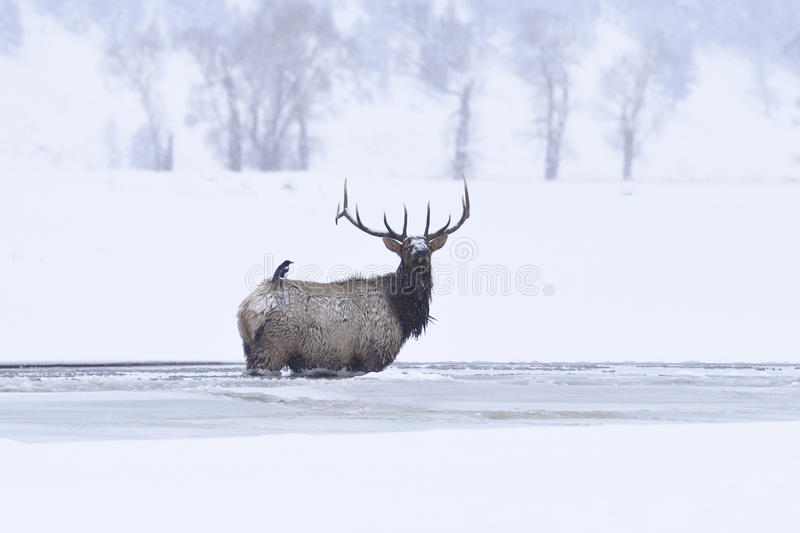 Winter bull elk. Standing in frozen lamar river, and a bird perching on its back royalty free stock image