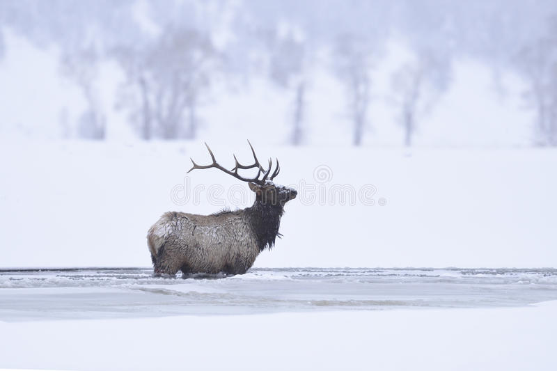 Winter bull elk stock image