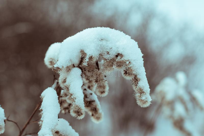Winter. Bush of weeds in the snow. Atmosphere, outdoor. Winter evening or morning. Toned image stock photography