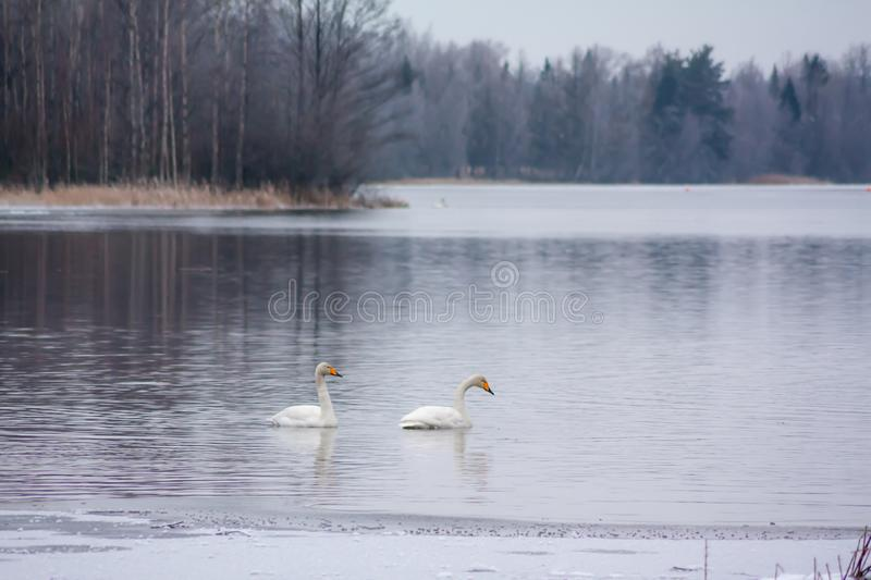 Winter calm landscape on a river with a white swans. Finland, river Kymijoki stock images