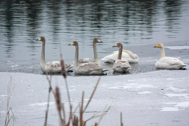 Winter calm landscape on a river with a white swans on ice. Finland, river Kymijoki stock image