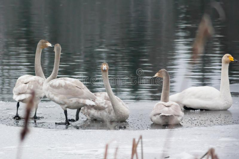 Winter calm landscape on a river with a white swans on ice. Finland, river Kymijoki stock photo