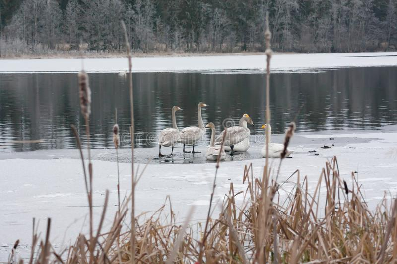 Winter calm landscape on a river with a white swans on ice. Finland, river Kymijoki stock photos