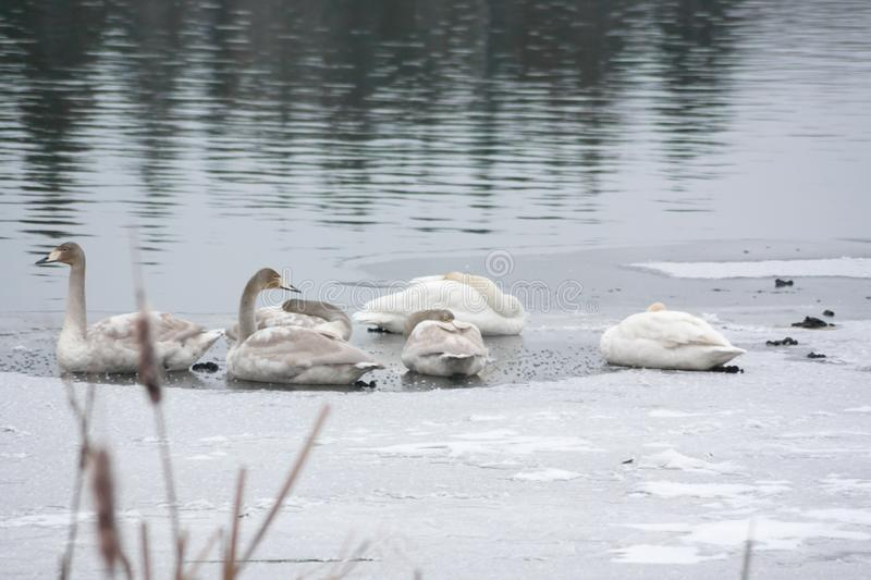 Winter calm landscape on a river with a white swans sleeping on ice. Finland, river Kymijoki royalty free stock images