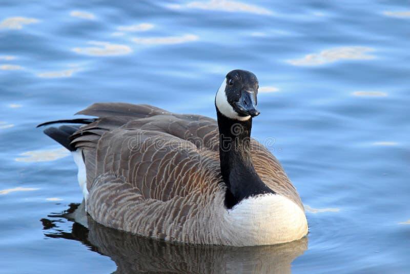 Winter Canada Goose stock photos