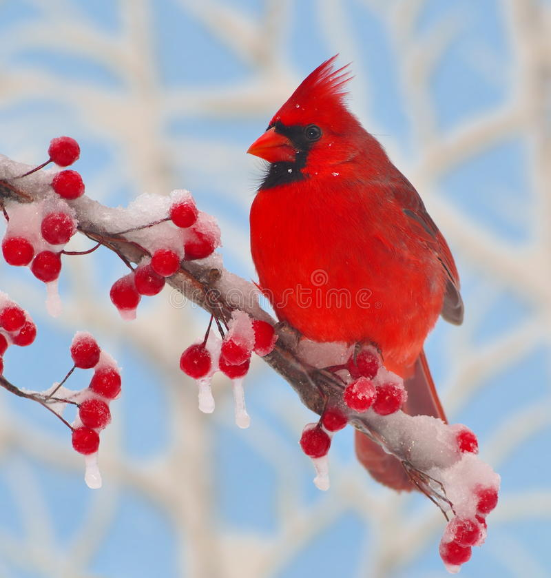 Winter cardinal at icy berries stock image image 28996525 - Pictures of cardinals in snow ...