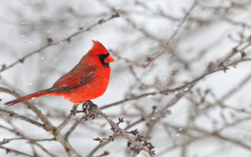 Winter Cardinal Male in snow. Male Cardinal in a snow storm