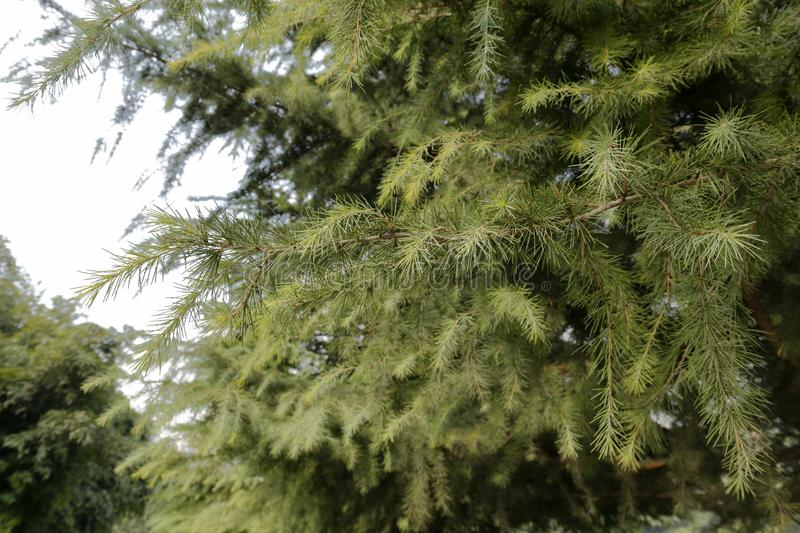 Cedar needles, adobe rgb. Winter cedars in xi`an city, shaanxi province, china. cedar is a symbol of purity and innocence in china royalty free stock images