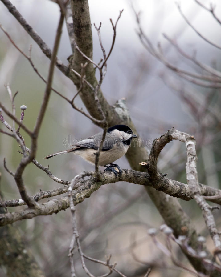 Winter Chickadee. Chickadee bird on bare apple tree branches in late winter stock images