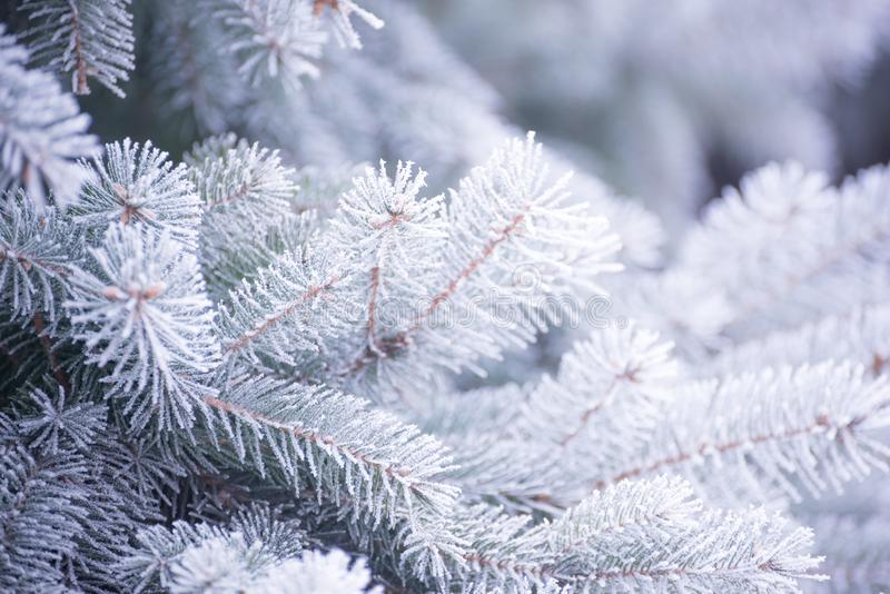 Winter and Christmas Background. Close-up Photo of Fir-tree Branch Covered with Frost. Winter and Christmas Background. Close-up Photo of Fir-tree Branch stock images