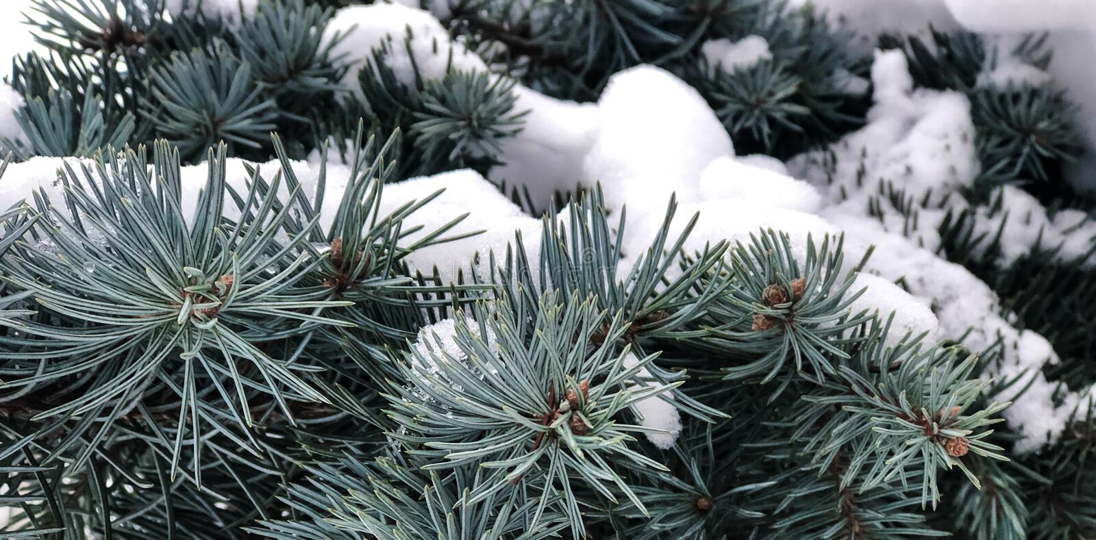 Winter and Christmas Background. Pine branch tree under snow. Fir-tree branches of conifer tree in snow for New Year close-up. stock photography
