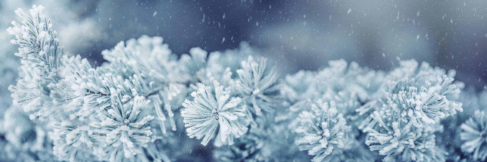 Winter and christmas border. Pine tree branches covered frost in snowy atmosphere royalty free stock photography