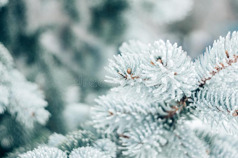 Winter Christmas evergreen tree background. Ice covered blue spruce branch close up. Frost branch of fir tree covered with snow, stock image