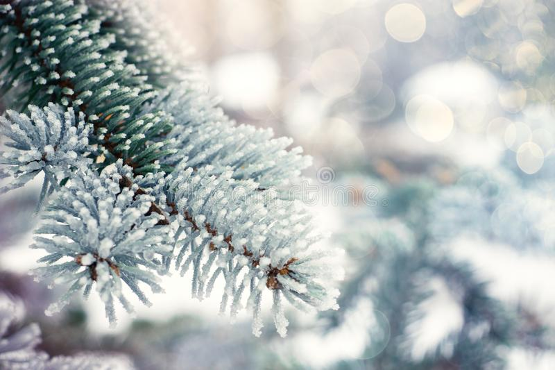 Winter Christmas evergreen tree background. Ice covered blue spruce branch close up. Frost branch of fir tree covered with snow, stock photo