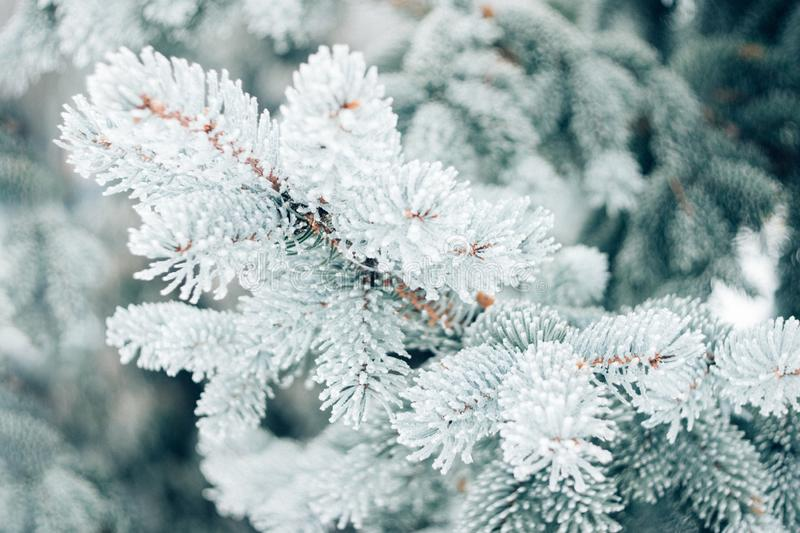 Winter Christmas evergreen tree background. Ice covered blue spruce branch close up. Frost branch of fir tree covered with snow, stock photography