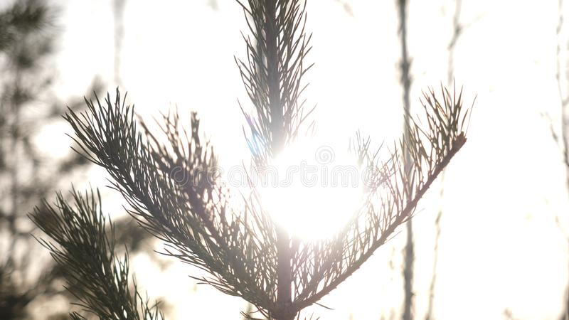 Winter christmas landscape, winter beauty. Bright rays of the setting sun, sunlight glare. Natural xmas decoration royalty free stock image