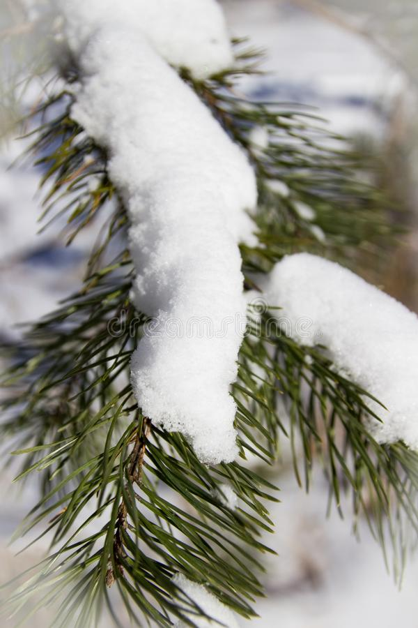 Winter Christmas tree in snow. At the forest stock photos