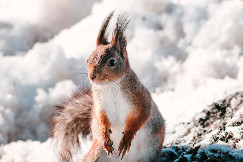 Winter close up portrait of a red squirrel. In natural habitat stock photography