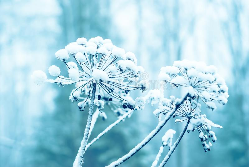 Winter background with a snow-covered plant royalty free stock photos