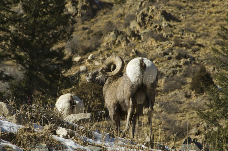 Download Winter Colorado Big Horn Sheep Stock Photo - Image: 12084038