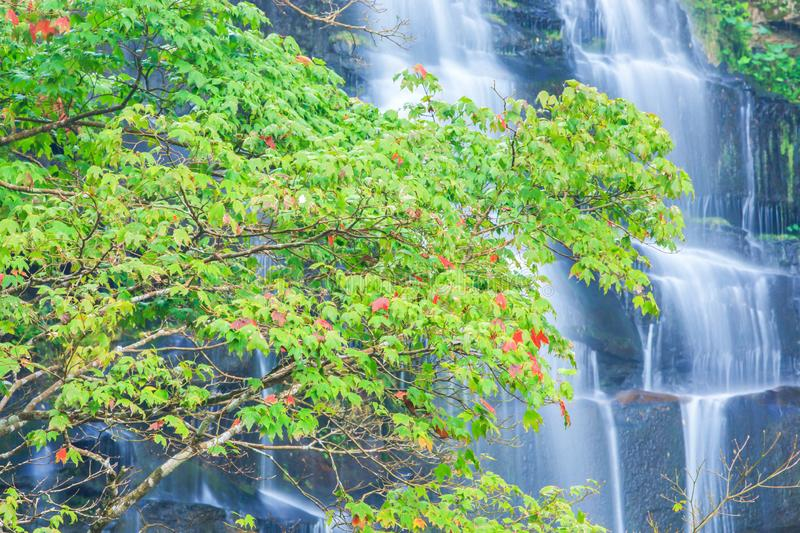 Winter colors, beautiful Maple leaves from green to red on seasonal in front of the waterfall. Phu Kradueng, Thailand stock images
