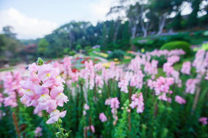 Winter colors, blooming pink flowers with morning dew in the tropical garden, flowers garden blurred backgrounds. Doi Tung, stock image