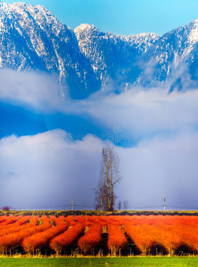 Winter colors of the blueberry fields in Pitt Polder near Maple Ridge in the Fraser Valley of British Columbia, Canada. On a clear and cold winter day. Snow stock photo