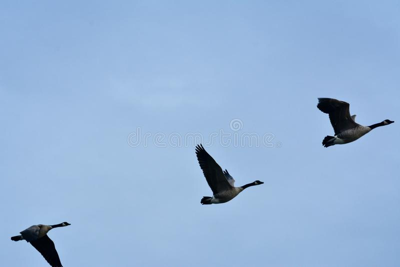 When the winter come`s the migration start towards the south royalty free stock photo