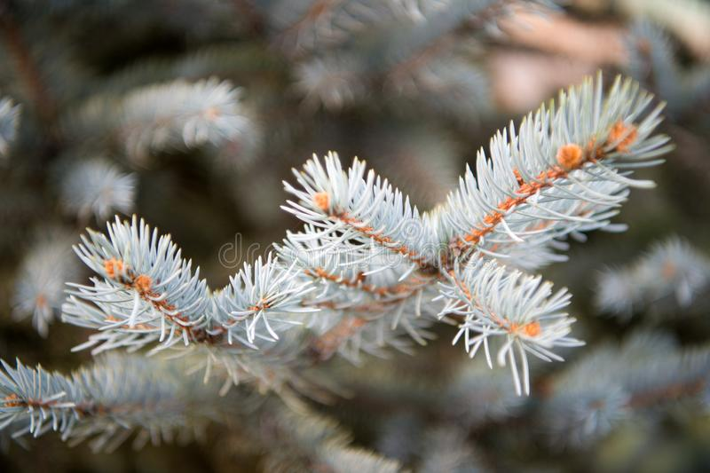 Winter is coming. Branches of pine spruce close up. Coniferous evergreen spruce tree. Symbolizing immortality and. Eternal life. Spruce or conifer plant. Spruce royalty free stock photography