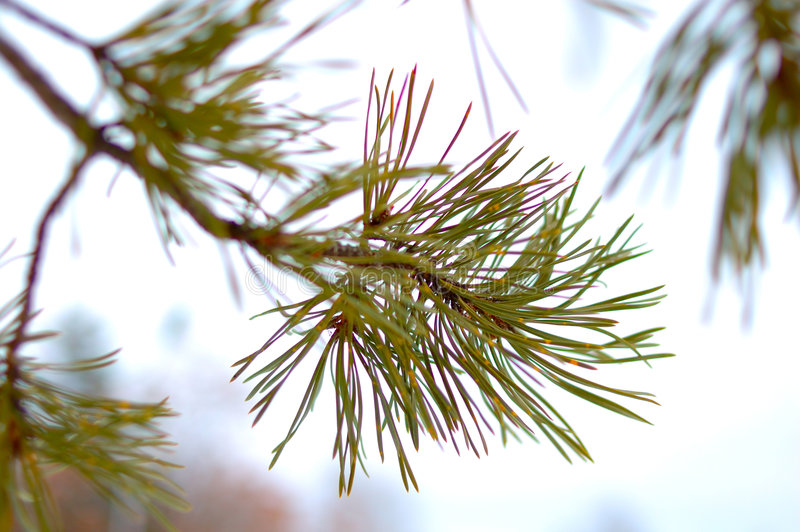 Winter conifer background with snow. stock image