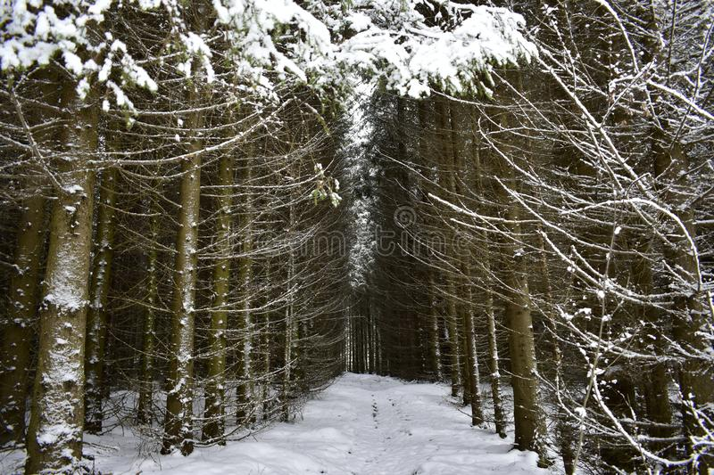 Winter coniferous spruce forest alley road is buried in snow drifts. All spruce beauties in the forest dressed in lush white. Outfits stock image