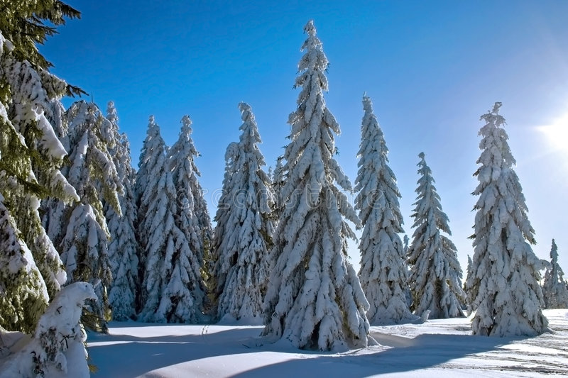 Winter conifers. Snow conifers with a sunbeam stock photography
