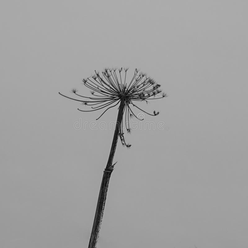 Cool winter hogweed. Winter cool hogweed on the background on grey sky stock images