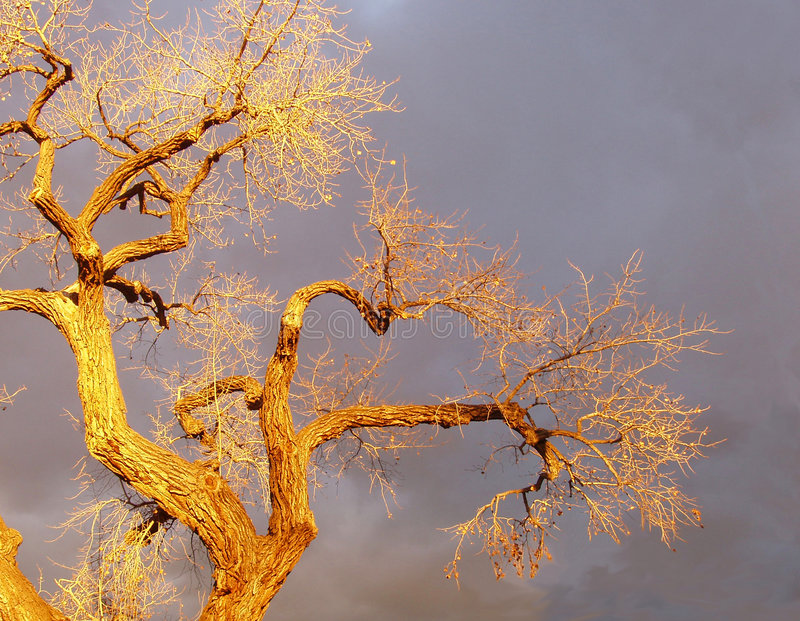 Winter Cottonwood In Santa Fe Sunset Light stock images