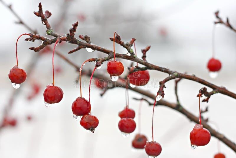 Winter Crabapple-Baumast umfasst im Eis stockfotografie
